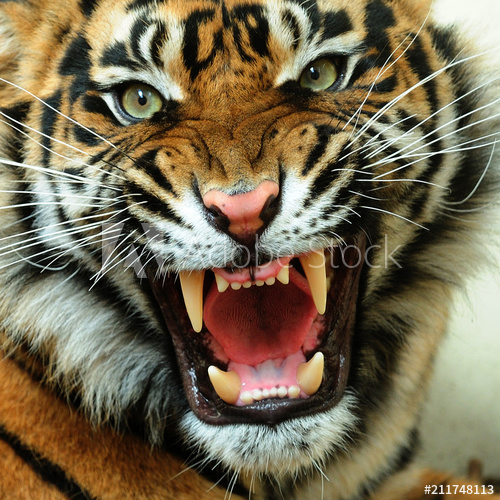 The Tiger - In 8 Unusual News About It!