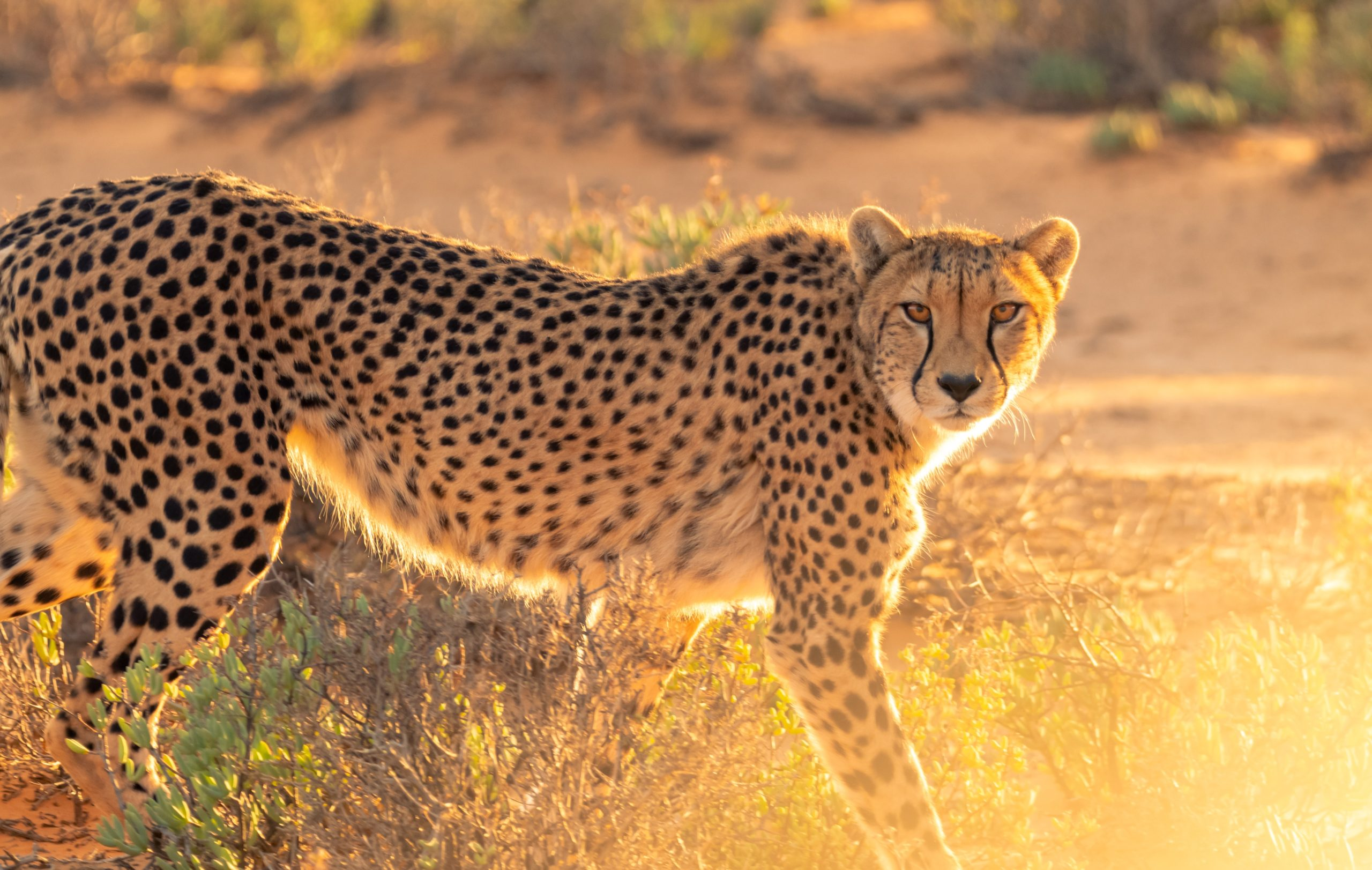 10 Curiosities About The Giant Cheetah