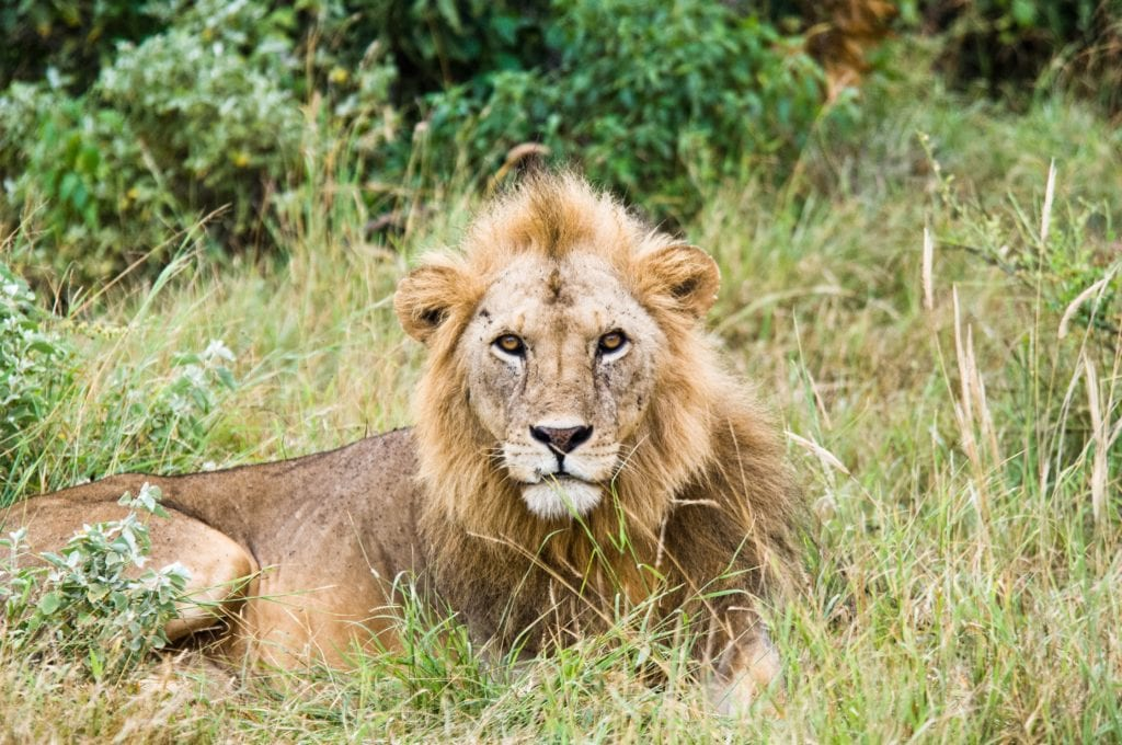 5 Curious Facts About Albino Lion
