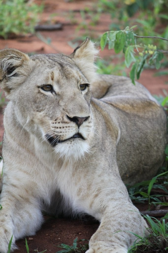 The Legend Of The African White Lion