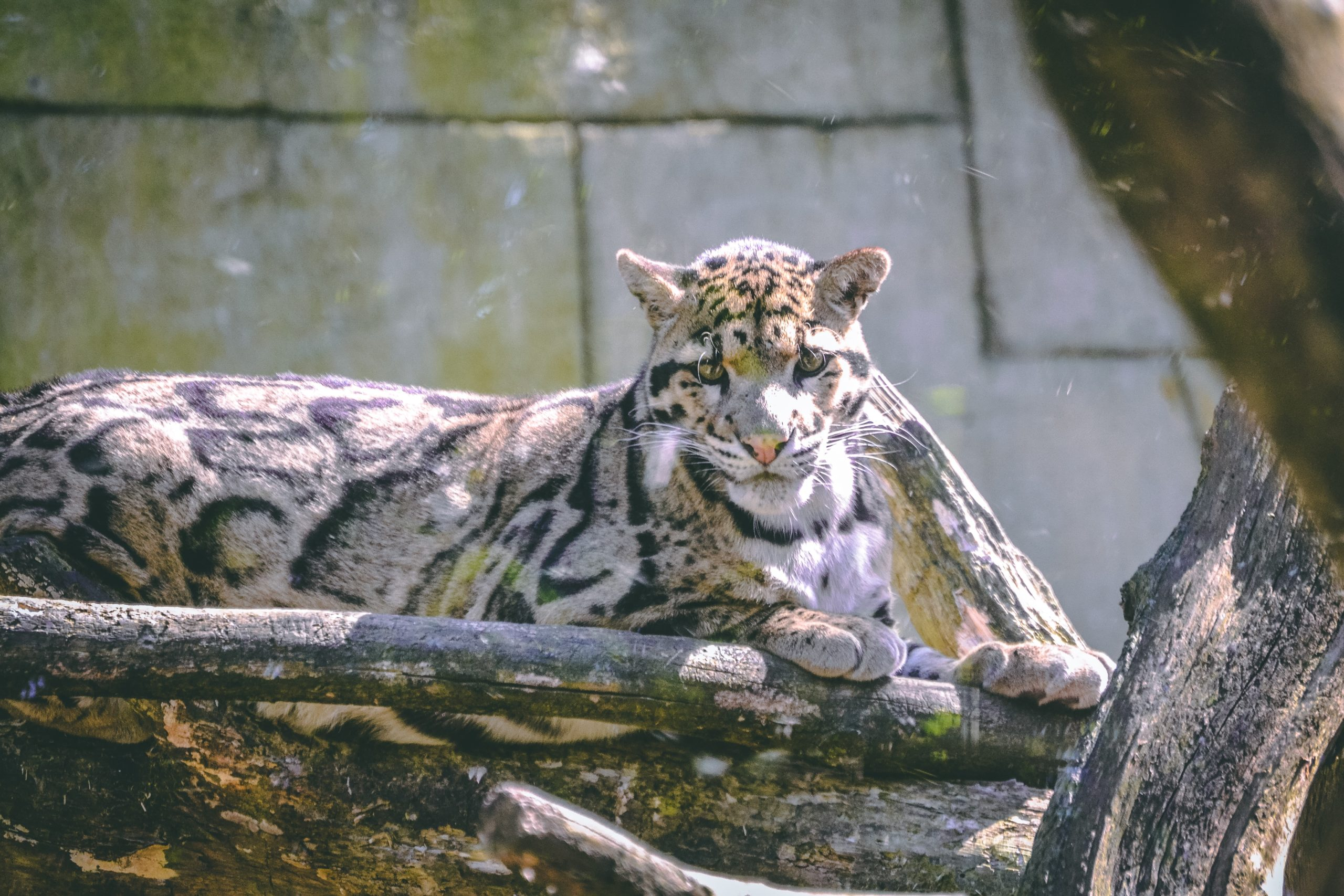 Asian Leopard Cat: Some Unknown Facts