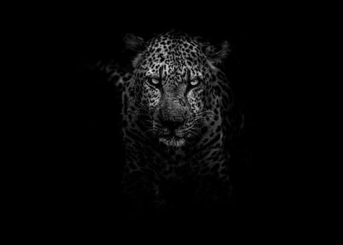 Master Of Hunting: The Leopard