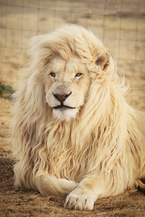 Lion: Curious Facts About The King Of The Jungle.