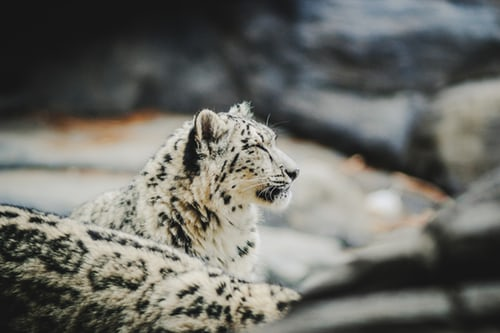 Snow Leopard: The Magnificent Big Cat Is Under Threat
