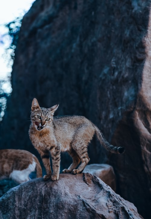 Red Lynx: Larger Than Domestic Cats