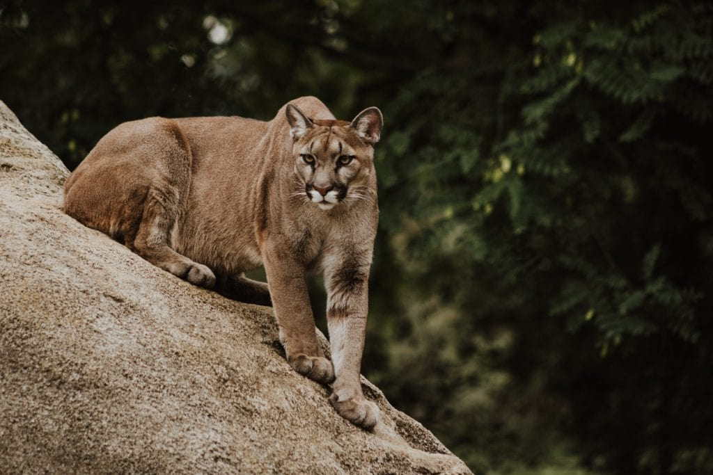 Cougar: Features And Habitat