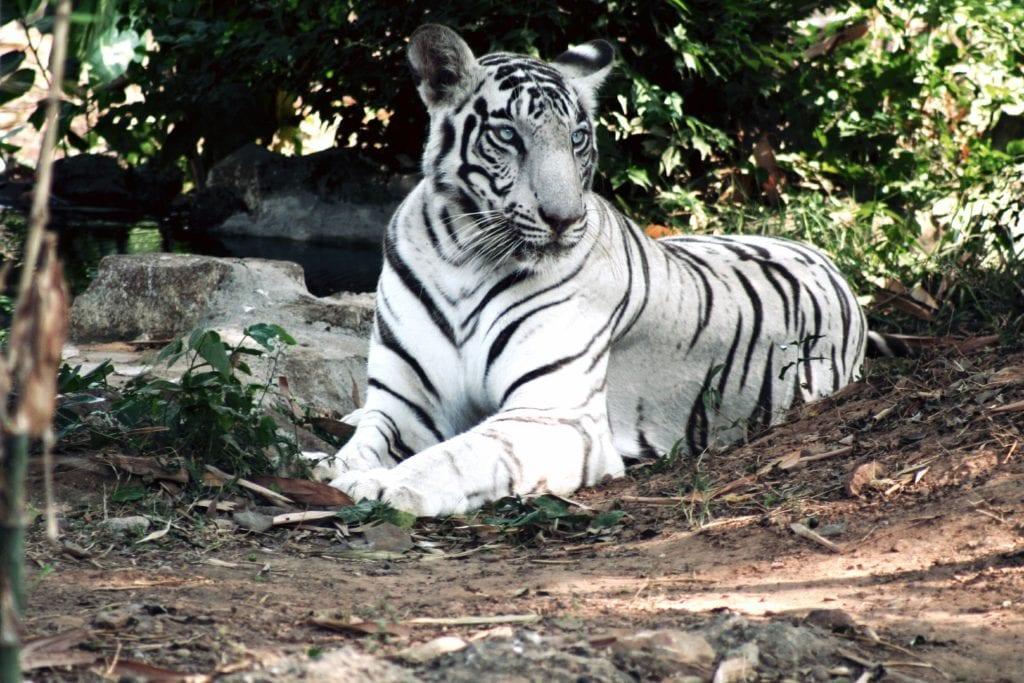 White Tiger, a fascinating species among all the tigers