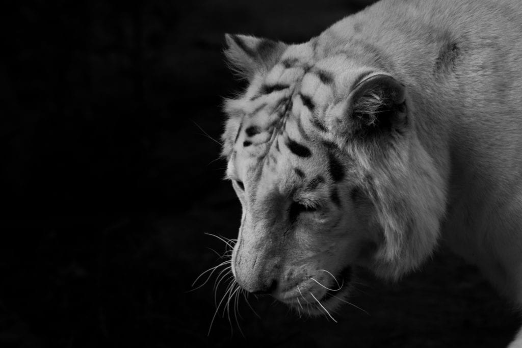 White Tiger: How Is It And Where Do They Live