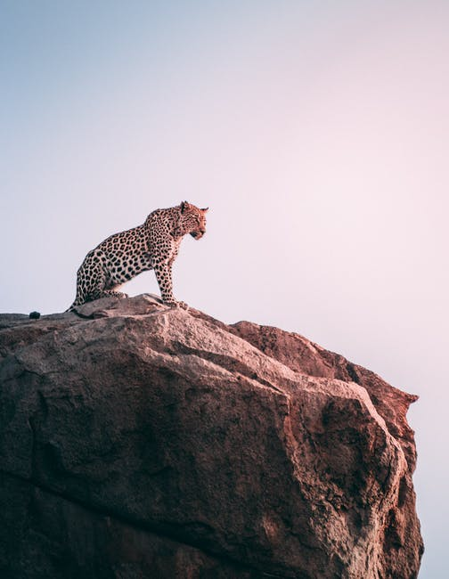 A leopard standing on a rocky hill